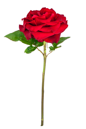 red flower: Beautiful red rose flower with stem and leaves isolated on white background.