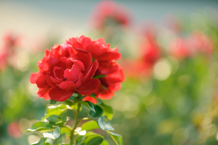 Beautiful blooming red rose on a bush in the garden on a sunny day, shallow DOF, soft focus, horizontal composition.