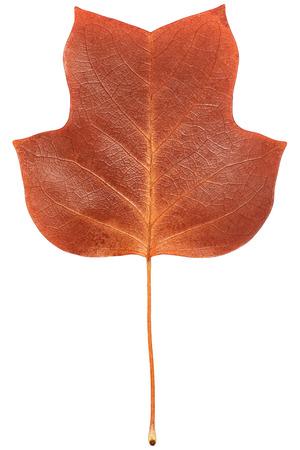 feuille arbre: Un gros plan d'un grungy feuille de peuplier jaune en automne couleurs de feuillage isolé sur un fond blanc