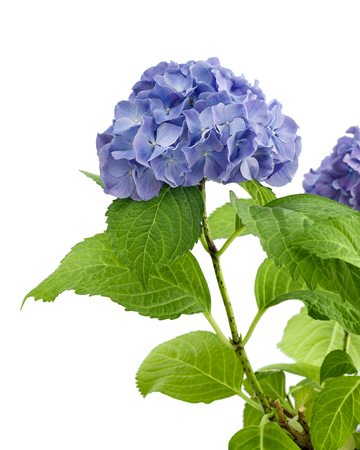 Blue and purple hydrangea in the pot isolated on white background, with clipping path.
