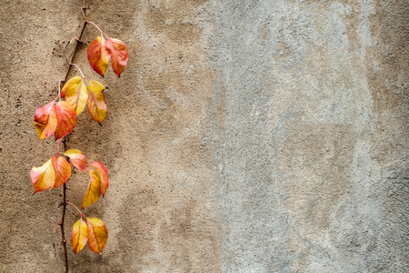 creates: Red and yellow creeper plant on a wall creates a beautiful autumn background. Empty space for your text.