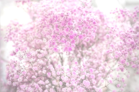 Close up of dry pink babys breath flowers gypsophila paniculata close up of dry pink babys breath flowers gypsophila paniculata shot in mightylinksfo