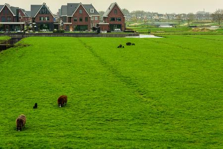 Sheep graze in a meadow near the Dutch farm in the municipality of Edam-Volendam, Netherlands. With copy space. Publikacyjne