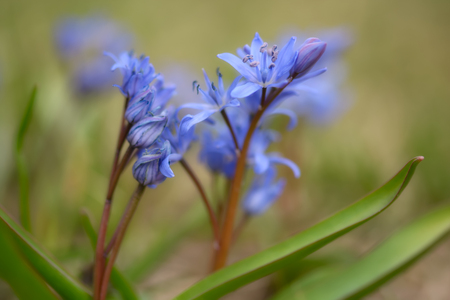 Two-leaf wild growing squill (Scilla bifolia), macro of just bloomed spring blue flowers