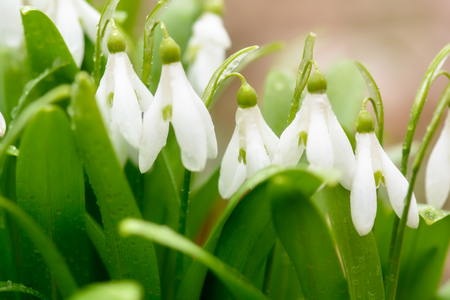 Beautiful snowdrop flowers (Galanthus nivalis) at spring forest. Delicate Snowdrop flower is one of the spring symbols. Easter natural background. Shallow depth of field. Zdjęcie Seryjne