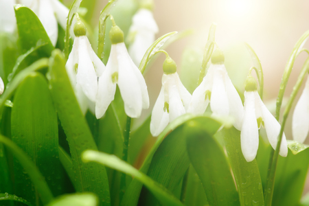 Beautiful snowdrop flowers (Galanthus nivalis) in sunny spring forest under sunbeams. Delicate Snowdrop flower is one of the spring symbols. Easter natural background. Shallow depth of field.