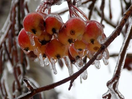 Frozen apples on tree