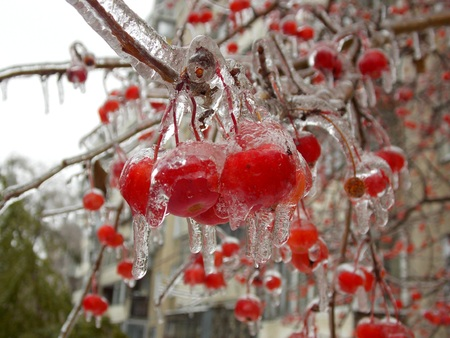Frozen Apples On Tree Stock Photo, Picture And Royalty Free Image. Image  61481517.
