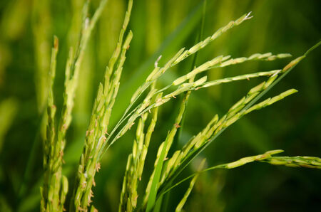 abound: ther green rice grains in the farm