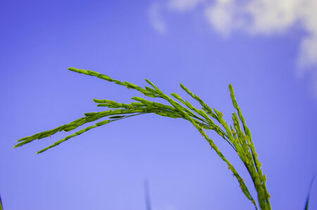 abound: the green rice grains in the farm