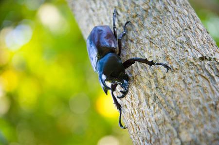 ebon: el negro Dynastinae insectos y el ti