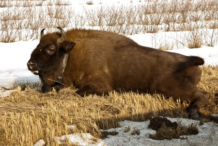 knocked over: wild bison knocked over by car on the road Stock Photo