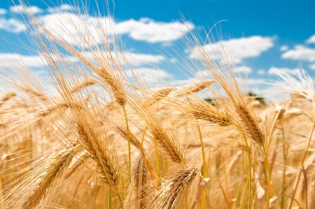 summer field: gold wheat