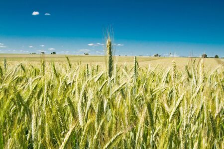 Green wheat field Stock Photo - 7442935