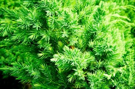 a juniper: portarretrato de rama de enebro