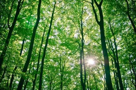 sunlight being detectable in trees in the forest  Stock Photo - 8448413