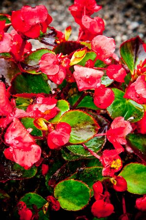 ripe geranium on the garden photo
