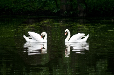 pair of swan on the lake in a forest photo