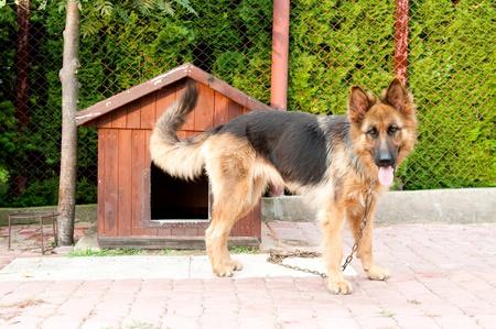 german shepherd and wooden doghuse photo