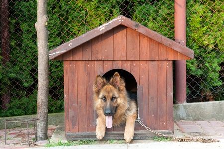 german shepherd and wooden doghuse photo