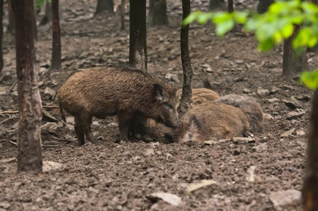 omnivores: wild boar family in their natural environment Stock Photo