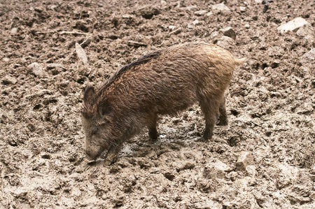 omnivores: wild boar in their natural environment Stock Photo