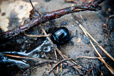 oryctes: beetle in its natural environment in the forest