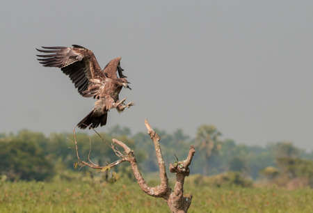Pallas's fish eagle, also known as Pallas's sea eagle or band-tailed fish eagle, is a large, brownish sea eagle. It breeds in the east Palearctic in Kazakhstan, Russia, Tajikistan and Turkmenistan.