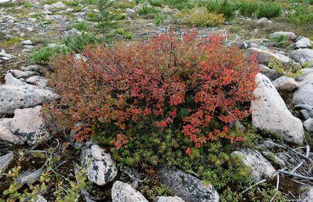 Dwarf birch in the hills of Yakutia in the fall. High quality photo Reklamní fotografie
