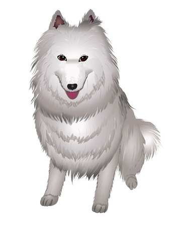 spitz:  white Samoyed dog smiles. vector illustration eps 10