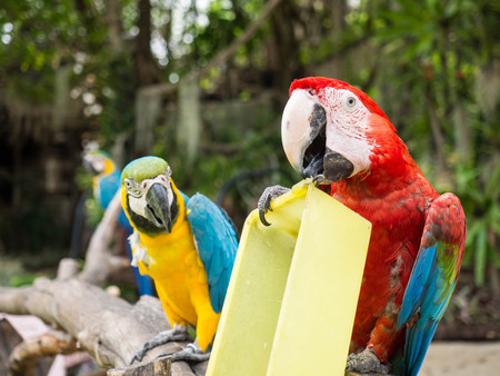 bonanza: Macaw parrot playing on the perch Stock Photo