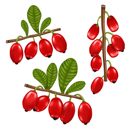 fresh barberry red realistic fruit, vector design
