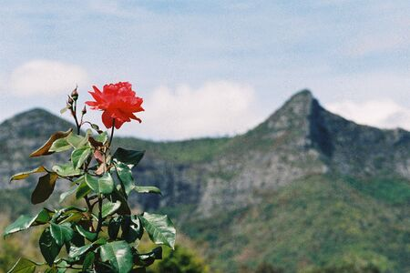 Rose with mountain