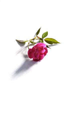 Rose on tile