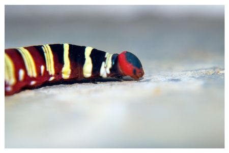 polymorphism: Caterpillar Stock Photo