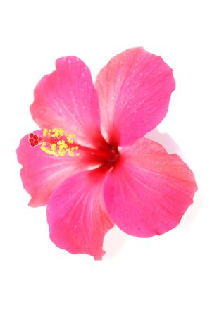 Kamal`s hibiscus of love Banque d'images