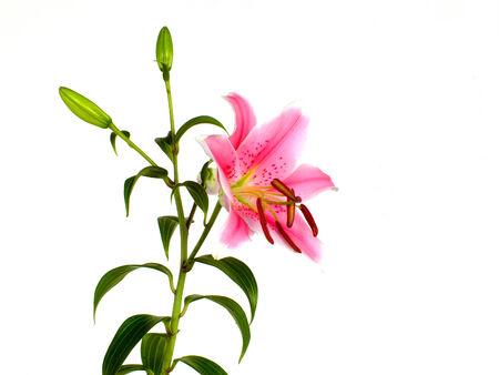 lys: Lys flower Stock Photo