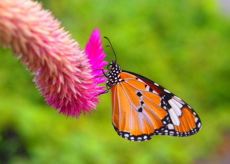 spikey: Monarch butterfly Stock Photo