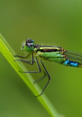 zygoptera: Green and turquoise damselfly detail