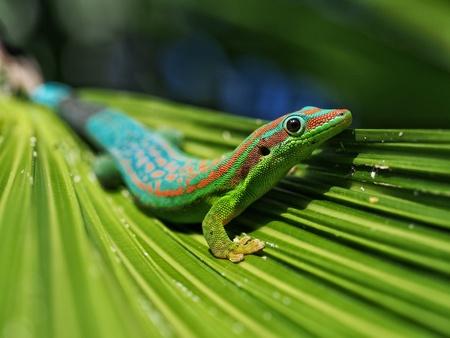 Day gekko in natural habitat Foto de archivo