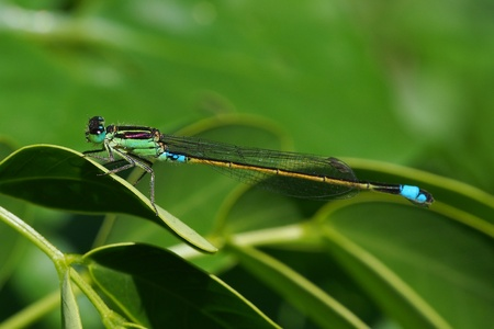 Turquoise green damselfly in natural habitat in Mauritius Stock Photo