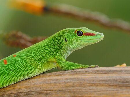 Big gecko of Madagascar posing in natural habitat