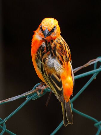 Red Fody bird perching on barbed wire fence