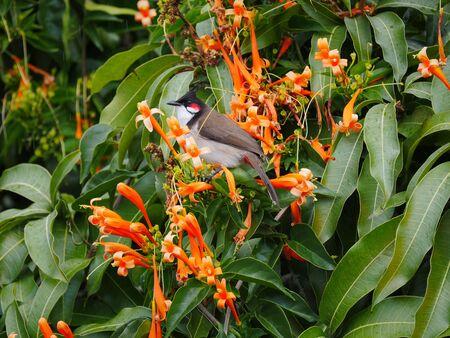 Red whiskered Bulbul bird perching on orange trumpet flowers
