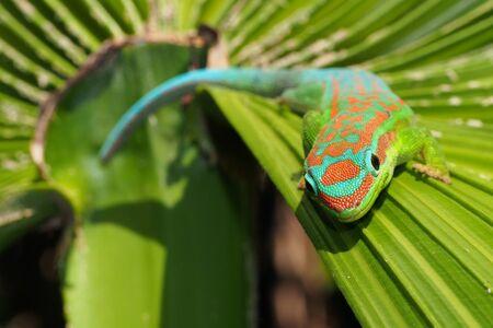 Ornate day gecko on palm tree leaf