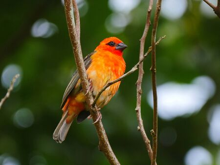 Red Fody bird perching in natural environment Banque d'images