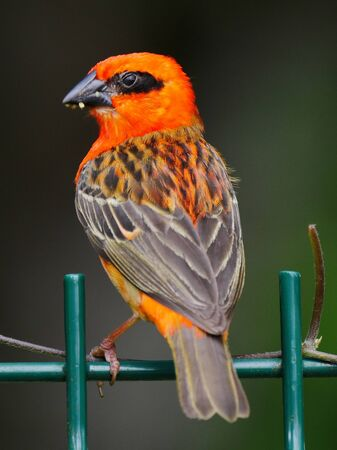 Red Fody bird perching on top of fencing