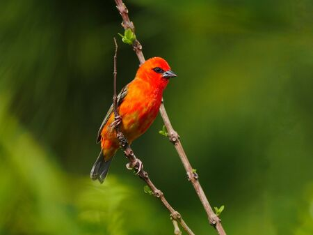 Red Fody bird perching in natural habitat Banque d'images