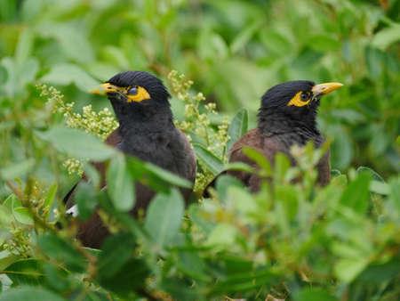 Two black birds perching in natural habitat