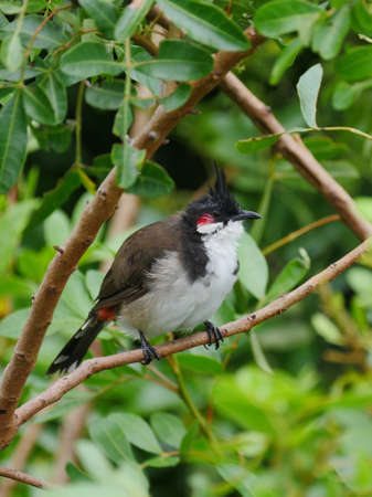 Red Whiskered Bulbul bird perching in natural habitat Banque d'images